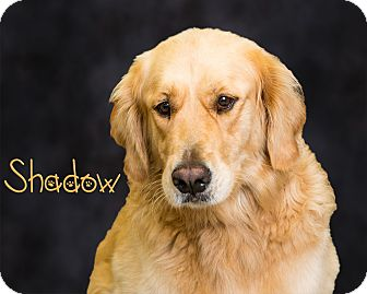 Golden Retriever Mix Dog for adoption in Somerset, Pennsylvania - Shadow