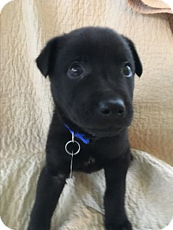 Terrier (Unknown Type, Medium)/Labrador Retriever Mix Puppy for adoption in Nashville, Tennessee - Jack