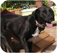 Labrador Retriever Mix Dog for adoption in Boca Raton, Florida - Chopsticks