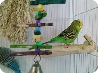 Budgie for adoption in Grandview, Missouri - Sassy and Dreama