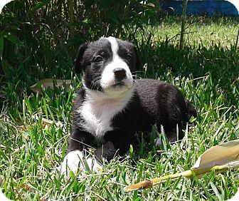 Labrador Retriever/Basenji Mix Puppy for adoption in Copperas Cove, Texas - Kenzie