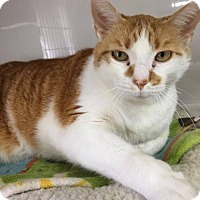 Domestic Shorthair Cat for adoption in Orleans, Vermont - Big Red