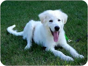 Great Pyrenees Puppy for adoption in Baltimore, Maryland - Elvis