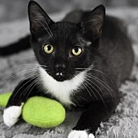 Domestic Shorthair Cat for adoption in Gainesville, Florida - Ernest