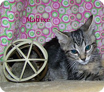 Domestic Shorthair Kitten for adoption in Miami Shores, Florida - Matrixe