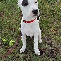 Adopt A Pet :: Flint - Springfield, MO