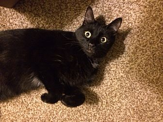 Domestic Shorthair Cat for adoption in San Diego, California - ARLEE