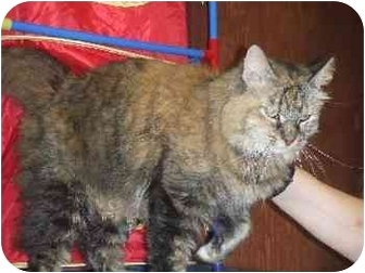 Domestic Longhair Cat for adoption in Mason City, Iowa - Sweetie