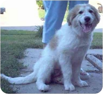Great Pyrenees Puppy for adoption in Kyle, Texas - Sugar Plum