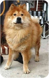 Chow Chow/Finnish Spitz Mix Dog for adoption in New York, New York - Yogi