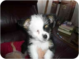 Chihuahua/Yorkie, Yorkshire Terrier Mix Puppy for adoption in San Diego, California - Hunter