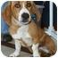 Photo 3 - Corgi/Beagle Mix Dog for adoption in North Judson, Indiana - Gorgeous George