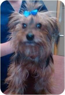 Yorkie, Yorkshire Terrier Dog for adoption in Sterling, Kansas - Winston