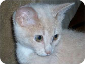 Domestic Shorthair Kitten for adoption in Cincinnati, Ohio - Tater