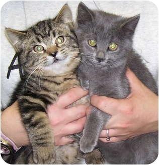 Domestic Shorthair Kitten for adoption in Somerset, Pennsylvania - Myra