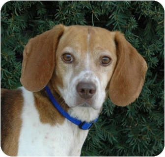 Beagle Dog for adoption in Waldorf, Maryland - Shelley Rock