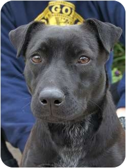 Labrador Retriever/Flat-Coated Retriever Mix Dog for adoption in Houston, Texas - Betty (Sweet, sweet)