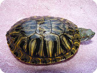 Turtle - Water for adoption in Richmond, British Columbia - Reggie