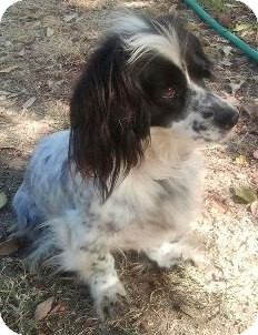 English Springer Spaniel/Corgi Mix Dog for adoption in Mission Viejo, California - SOPHIE