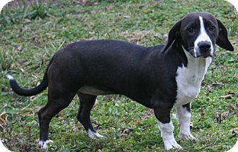 Basset Hound/Dachshund Mix Puppy for adoption in Cincinnati, Ohio - Bessie