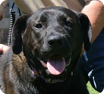 Labrador Retriever Mix Dog for adoption in white settlment, Texas - Hazel