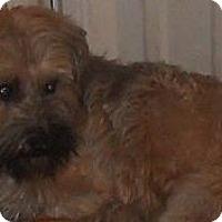 Adopt A Pet :: Yorkie Mix - Aloha, OR