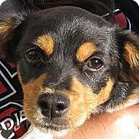 Adopt A Pet :: Baby Rose - Oakley, CA