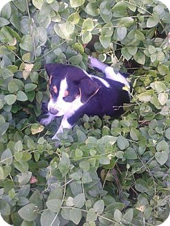 Beagle/Jack Russell Terrier Mix Puppy for adoption in Homer, New York - Freckles