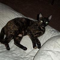 Adopt A Pet :: Kit Cat - Fort Pierce, FL