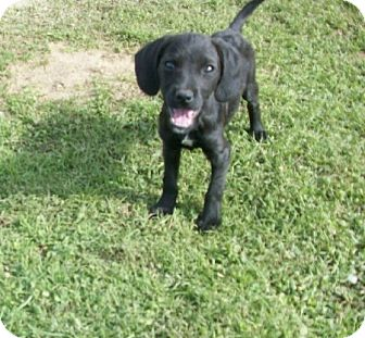 Labradoodle/Terrier (Unknown Type, Small) Mix Puppy for adoption in Liberty Center, Ohio - George