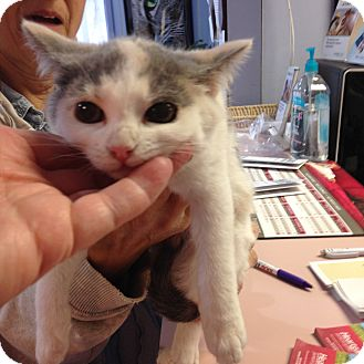 Calico Kitten for adoption in Cincinnati, Ohio - Peanut