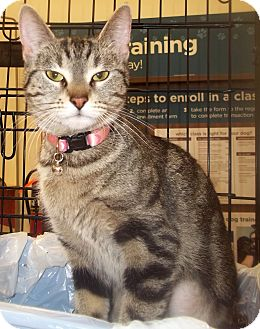 Domestic Shorthair Cat for adoption in Duluth, Minnesota - Louise