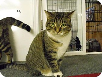 Domestic Shorthair Cat for adoption in Napoleon, Ohio - Lilly