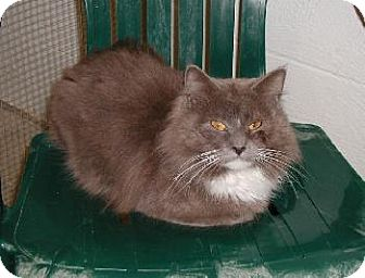 Domestic Longhair Cat for adoption in Wetumpka, Alabama - #80238'Nubby'