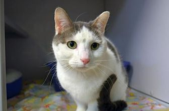 Domestic Shorthair Cat for adoption in Milwaukee, Wisconsin - Mina