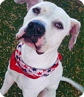 Dalmatian/German Shorthaired Pointer Mix Dog for adoption in Meridian, Idaho - Marshmallow