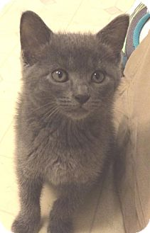 Russian Blue Kitten for adoption in Wilmore, Kentucky - Hot Shot