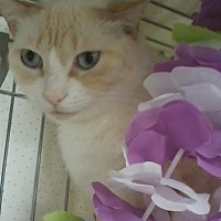 Domestic Mediumhair Cat for adoption in Oviedo, Florida - Blondie