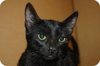 Domestic Shorthair Kitten for adoption in Whittier, California - Sheila