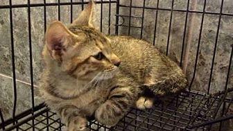 Domestic Shorthair Cat for adoption in Tyler, Texas - AA-Laken