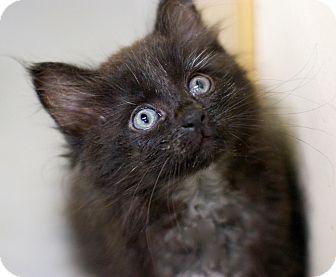 Domestic Longhair Kitten for adoption in Troy, Michigan - Freddy