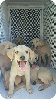 Labrador Retriever Mix Puppy for adoption in Redding, California - Puppies