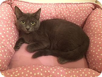 Russian Blue Kitten for adoption in Metairie, Louisiana - Ivanka