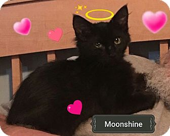 Domestic Mediumhair Kitten for adoption in Bayville, New Jersey - Moonshine