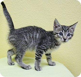 Domestic Shorthair Kitten for adoption in Benbrook, Texas - AJ