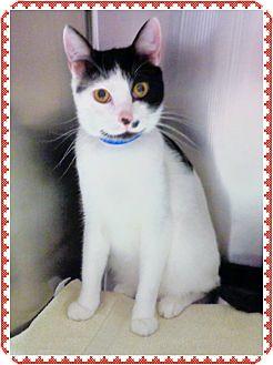 Domestic Shorthair Cat for adoption in Marietta, Georgia - SABAN (R)