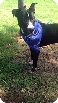 Great Dane/Labrador Retriever Mix Dog for adoption in White Settlement, Texas - Dino