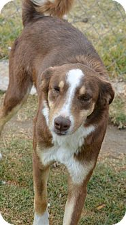 Australian Shepherd/Whippet Mix Dog for adoption in Toronto/GTA, Ontario - ROGER