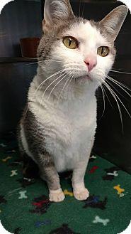 Domestic Shorthair Cat for adoption in Brookings, South Dakota - Peru