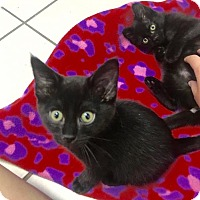 Adopt A Pet :: Charleston and Raleigh - Euless, TX